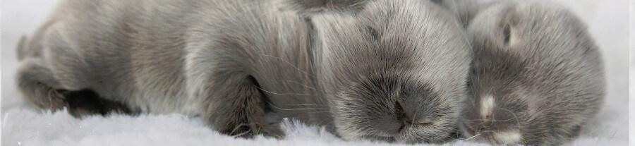Interview: Les Lapinous de Tignas, élevage de lapins bélier nains