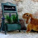 Interview : Les jardins de Flora, élevage de lapins nains bélier et nains couleur