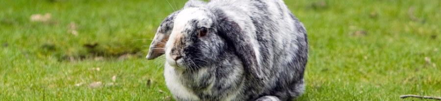 La santé du lapin domestique
