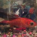 Insolite: une opération chirurgicale sur… un poisson rouge!