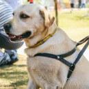Tout savoir sur les harnais pour chien