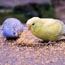 Choisir son oiseau de compagnie : 5 perruches à découvrir