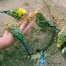 L'alimentation de la perruche