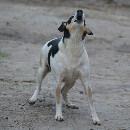 Mon chien aboie : causes et solutions