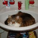 La cystite chez le chat : symptômes et traitement