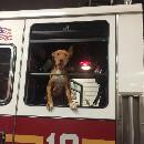 Ashley, la chienne abandonnée devenue sapeur-pompier