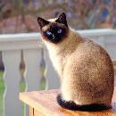 Astuces de toilettage pour chat Siamois