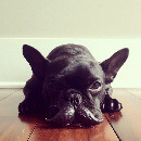 Trotter, le bouledogue français le plus photogénique d'Instagram !