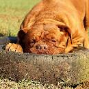 Quels jouets pour un gros chien?