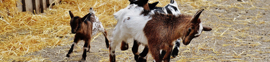 Le 'Goat Yoga', le sport le plus insolite à la mode !