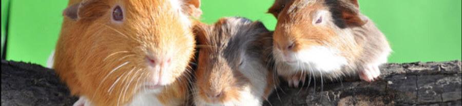 Elevage Ptits Bou'chons : conseils pour créer une bonne relation avec votre cochon d'inde