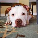 Comment savoir si mon chien est en surpoids ?