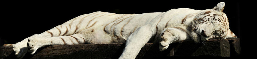 Une loi interdit les animaux sauvages dans les cirques itinérants en Ecosse !