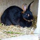Coryza chez le lapin
