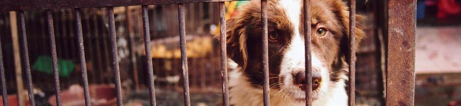 La viande de chien enfin bannie du Festival de Yulin en Chine !