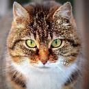 Le syndrome du tigre chez le chat