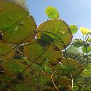 10 plantes d'aquarium sans substrat