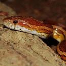 Conseils pour aménager un terrarium pour serpent des blés