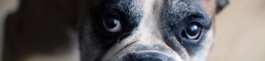 7 races de chiens les plus touchées par le cancer
