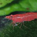 Élever des crevettes Red Cherry