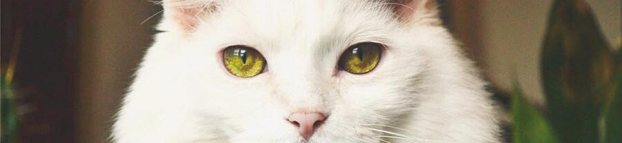 La troisième paupière chez le chat