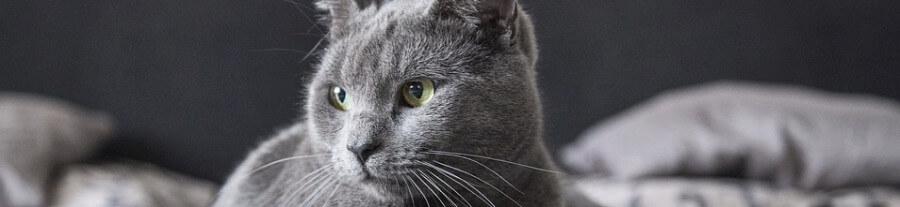 La gale des oreilles chez le chat