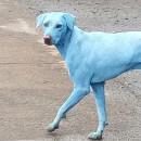 Découvrez pourquoi ces chiens sauvages sont devenus… bleus !