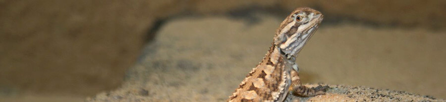 Adopter un pogona nain (Pogona henrylawsoni) : comportement, alimentation, prix