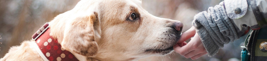 Nesha, une labrador toxicomane sauvée grâce à un refuge