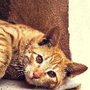 Proposer son chat de race (LOOF) en saillie : comment ça marche ?
