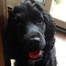 Cocker Dad : une chaîne Youtube destinée aux propriétaires de chiens