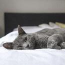 Inscrire son chat au LOOF ou vérifier son inscription