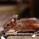 L'alimentation de la souris domestique