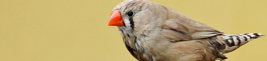Adopter un Diamant Mandarin comme oiseau de compagnie