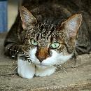 Huiles essentielles : danger pour le chat ?