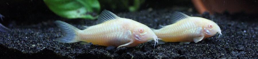 Quels poissons choisir pour un petit aquarium de 60-80 L ?