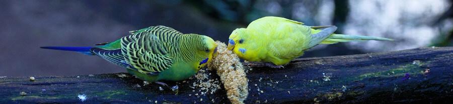 Comment s'occuper de ses oiseaux exotiques en hiver
