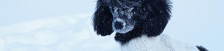 10 Races de chien sensibles au froid