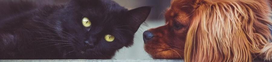 10 meilleures races de chats pour un foyer avec un chien