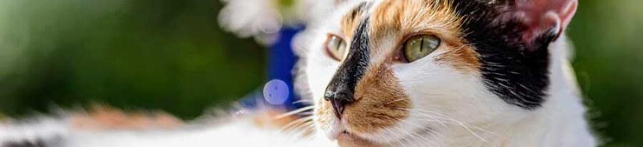 Le chat calico (ou tricolore)