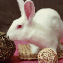 Adopter un animal de laboratoire : Entretien avec l'association White Rabbit
