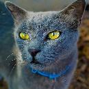 Comment nettoyer les yeux du chat