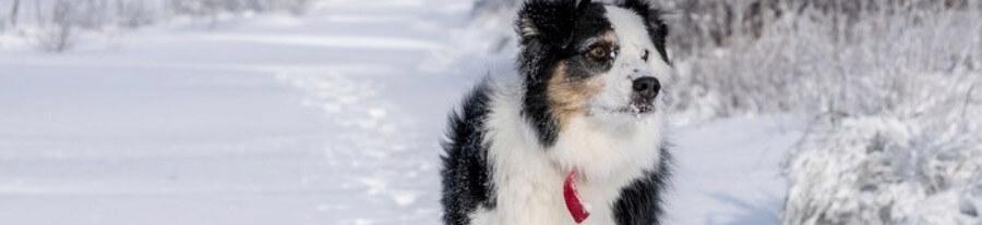8 races de chiens qui supportent bien le froid