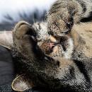 Pourquoi les chats pétrissent-ils ou font des massages ?