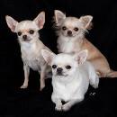 Chihuahua : la plus longue espérance de vie