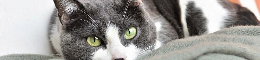 Top 10 races de chat câlines et affectueuses