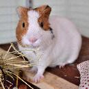 Cochon d'inde qui sent mauvais : comment éviter les mauvaises odeurs ?