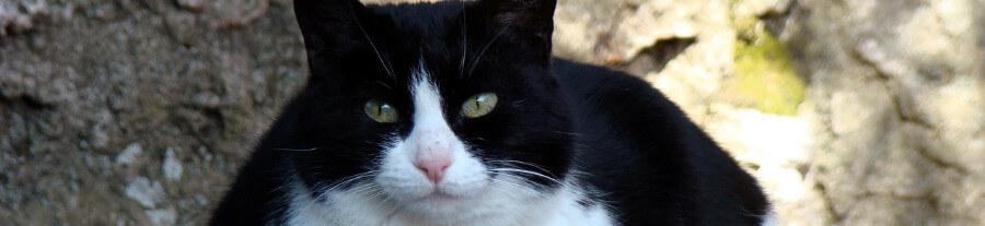 L'insuffisance rénale chez le chat