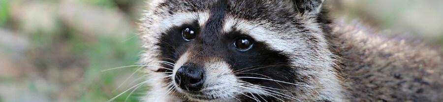 Raton-laveur : un animal de compagnie ou pas ?