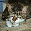 Effets secondaires des produits anti-puce chez le chat